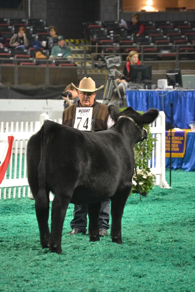Champion SimAngus Junior Heifer Calf