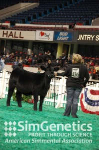 Class 4 winner, C BAR/WLE Wanda A991 exhibited by C Bar Cattle Company and Wesner Livestock Enterprises of Chalmers, IN